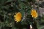 Asteraceae - Sonchus oleraceus