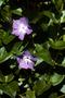 Apocynaceae - Vinca major