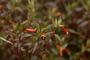 Lythraceae - Cuphea ignea