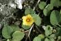 Malvaceae - Sida fallax