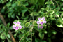 Acanthaceae - Asystasia gangetica