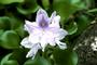 Pontederiaceae - Eichhornia crassipes