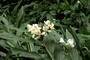 Zingiberaceae - Hedychium coronarium
