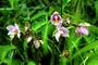 Orchidaceae - Spathoglottis plicata