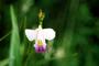 Orchidaceae - Arundina graminifolia