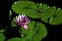 Nymphaeaceae - Nymphaea caerulea