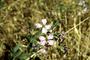 Brassicaceae - Raphanus sativus