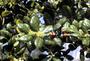Aquifoliaceae - Ilex aquifolium