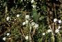 Brassicaceae - Capsella bursa-pastoris