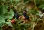 Rosaceae - Rubus argutus