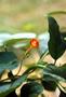 Convolvulaceae - Ipomoea hederifolia