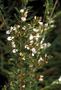 Fabaceae - Lespedeza cuneata