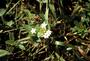 Rubiaceae - Richardia scabra