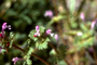 Lamiaceae - Lamium amplexicaule