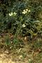Brassicaceae - Raphanus raphanistrum