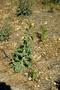 Asteraceae - Sonchus asper