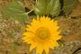 Asteraceae - Helianthus annuus