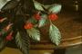 Gesneriaceae - Episcia cupreata 'La Agulita'