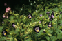 Linderniaceae - Torenia fournieri