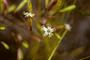 Caryophyllaceae - Silene hawaiiensis