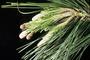 Pinaceae - Pinus radiata