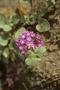Poaceae - Abronia sp.