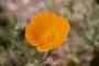 Papaveraceae - Eschscholzia californica