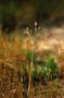Poaceae - Aira caryophyllea