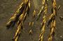 Poaceae - Schedonorus arundinaceus