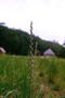 Poaceae - Lolium multiflorum