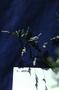 Poaceae - Poa annua