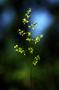 Poaceae - Poa compressa