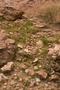 Poaceae - Aristida adscensionis