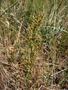 Polygonaceae - Rumex acetosella