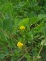 Fabaceae - Medicago polymorpha