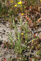 Plantaginaceae - Plantago aristata