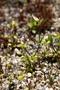 Caryophyllaceae - Cerastium glomeratum