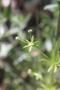 Rubiaceae - Galium aparine