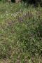 Fabaceae - Vicia villosa