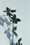 Fabaceae - Medicago lupulina