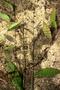 Poaceae - Setaria palmifolia