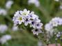 Heliotropiaceae - Heliotropium curassavicum