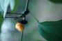 Poaceae - Abuta sp.