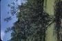 Fabaceae - Ceratonia siliqua