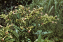 Solanaceae - Nicotiana tabacum