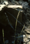 Poaceae - Bouteloua curtipendula