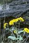 Asteraceae - Verbesina encelioides subsp. exauriculata