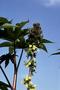 Euphorbiaceae - Ricinus communis