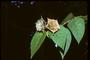 Poaceae - Abroma sp.