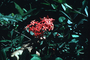 Rubiaceae - Ixora coccinea